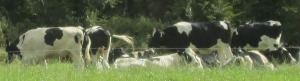 The cows out my back window