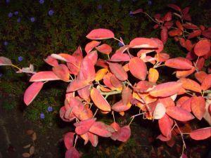 Red_autumn_leaves_branch_dark