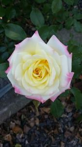 White rose with pink tips