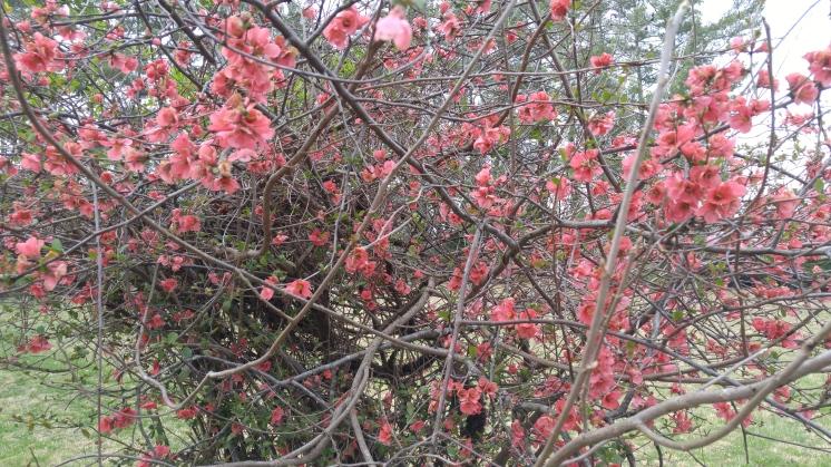 springpink