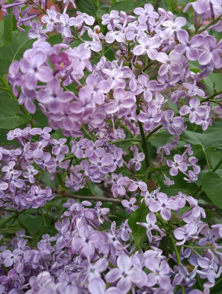 Edith's Lilac