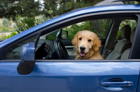 Golden Retriever Puppy Driving Car